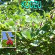 葛(クズ, Kudzu)の花