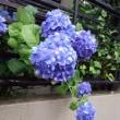 晴れて咲き雨に色増す濃紫陽花