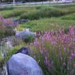 ●夕暮れの大乗寺丘陵公園 ミソハギ? セセリチョウ ベゴニア