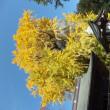 佐久山の紅葉祭り 銀杏 樹齢700年 今宮神社の