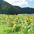 小浜 宮川のひまわり畑を見に行く