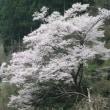 仁淀まで桜を見に行こう