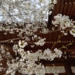 春のお彼岸 桜が満開です。