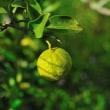 自宅の柚子の実が色づき始めました。 (Photo No.14090)
