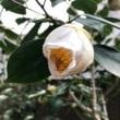 ☆福岡の結婚相談室・あなたのマリッジオフィス・ナカノ・ 皆様はどの椿の花が好きですか。☆