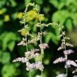 長野県北佐久郡軽井沢町の軽井沢町植物園では、アサマキスゲの花が咲いています