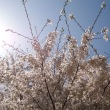四季折々854  鑓水小山緑地の桜