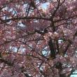 ☆今日の河津桜は・・・・☆