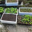 白菜やブロッコリーの苗作り、秋冬野菜はかみあえば上手くいくが…