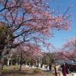 ・ 江の島 河津桜 見頃です 2018