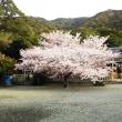 御崎神社 桜満開