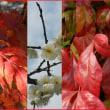 紅白な早春