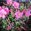 オキザリスという花