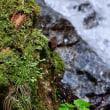 金剛山のミソサザイ