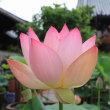 大蓮寺でハスが咲き始めています