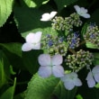 フローラルガーデンよさみの花だより 2018 ~紫陽花、百合、クレマチス~