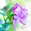 薔薇 ブルーリバー