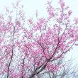 「チョウベイザクラ咲く」 いわき 新川の桜並木にて撮影!