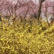 2018 山里にひっそりと華麗に咲くハツミヨザクラ 《筑紫郡那珂川町》