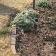 ◎アネモネ咲きのクリスマスローズ&芝用除草剤