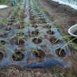 晩生タマネギを定植する。