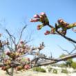 今日の桜(Today's cherry blossoms )
