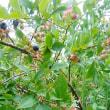 またまたブルーベリーの枝にハチの巣です