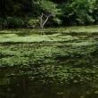 巴川キツネノカミソリ最盛期です。