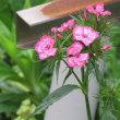 美女撫子(髭撫子) Dianthus barbatus 伊達男 義侠 勇敢