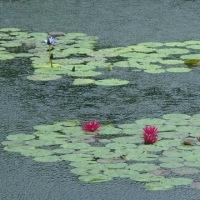 花は盛りに、月は隈なきを見るものかは  ~ モネの庭から(その327)