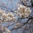 T公園桜満開