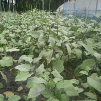 玉ねぎ播種続き、チコリ蒔き直し