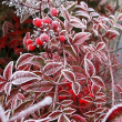 イチゴ畑の霜模様