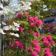 庭のシャクナゲ 「太陽」