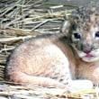 31年ぶりライオンの赤ちゃん桐生が岡動物園群馬