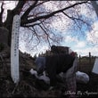 大坪の一本桜守る人々