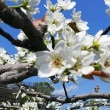 梨の花の交配