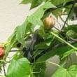 沖縄スズメウリの赤い実