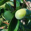 庭の果樹の様子 1つになった不知火・レモン そしてブドウ カキ ブラックベリー ユズ