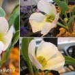 羽衣キンポウゲの花は