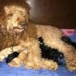 ミディアムプードル ノッコさんの子犬産まれました。
