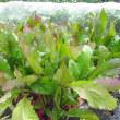 日野菜カブの収穫