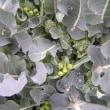ブロッコリー側花蕾収穫