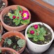 プリムラ開花