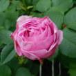 ルイーズオーディエが咲きました