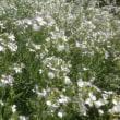 さて、この白い花は何の花でしょうか?