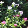 アメリカデイゴ 二番咲。伸び放題 コンスタンスサプライ。