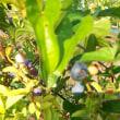 ブルーベリー 収穫