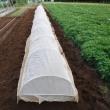 ブロッコリー苗を定植。