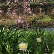 桜とタンポポと間
